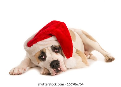 Sad looking American bulldog with Santa hat isolated on white