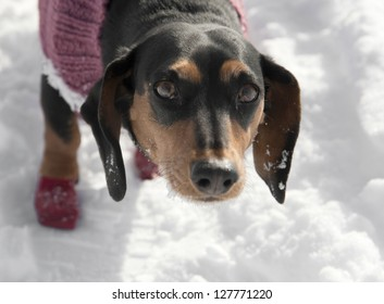 sad looking basset hound in the snow