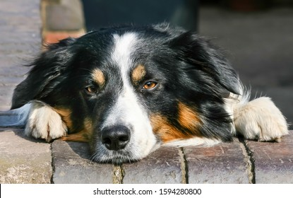 Sad looking Black and Tan Collie dog looks over the wall.