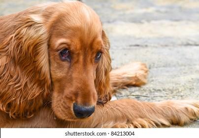 Sad looking cocker spaniel puppy