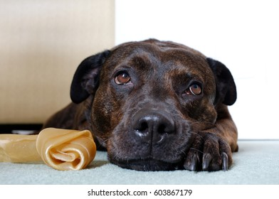 A sad looking dark brown dog with a bone