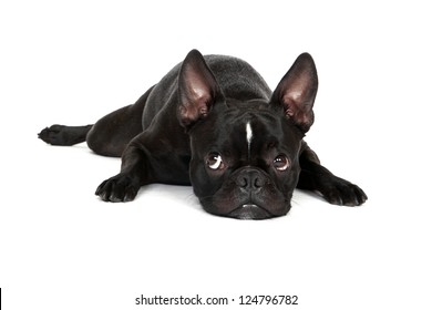 Sad looking Froston (Frenchie x Boston Terrier) resting his head on the floor.  Isolated on a white background.