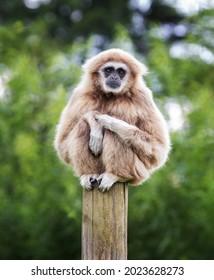 Sad looking Lar Gibbon sitting on a post