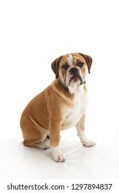 Sad Looking Mixed Breed Dog Sitting on White Background in Studio Beagle Bulldog Mix