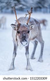 Sad looking reindeer staring at camera in wintry Lapland.