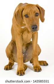 Sad looking Rhodesian Ridgeback hound dog. Image taken in front of white background. The female dog is looking depressed and full of fear. 5 month old pet.
