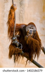 Sad looking Sumatran Orangutan (Pongo abelii) in captivity in zoo enclosure. The Orangutan are a critically endangered species.