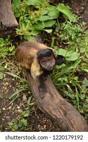 Sad looking Tufted capuchin.