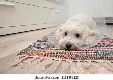 Sad Maltese dog with plastic elizabethan (buster) collar