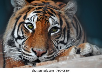 Sad melancholic face of a green eyed Bengal Tiger in cage