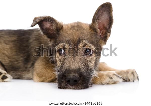 sad mixed breed dog. isolated on white background