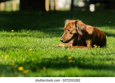 A sad mixed breed dog laying in the grass
