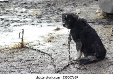 Sad mongrel dog on a chain. Shaggy dog, the dog guards the house.