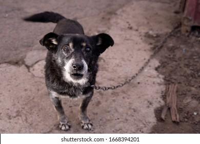 Sad mongrel on a chain. Shaggy dog, the dog guards the house.