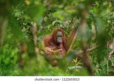 Sad mother orangutan (orang-utan) with hers dead very small baby in his natural environment in the rainforest on Borneo (Kalimantan) island with trees and palms behind.