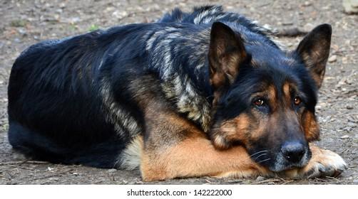 Sad, old German Shepherd, lying down