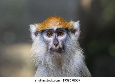 Sad patas monkey close up portrait. Frightened hussar monkey (Erythrocebus patas) with black moustache wearing melancholic expression.