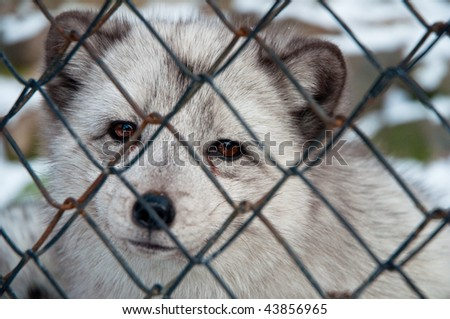 sad polar fox in cage
