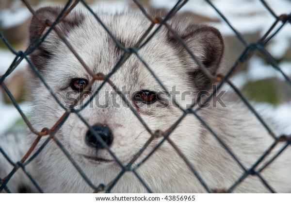 sad polar fox in cage