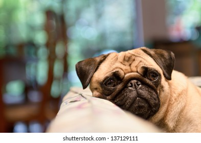 A sad pug lays his head on the couch on a rainy day.