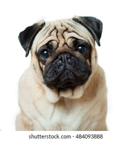 Sad pug looking at the camera isolated on white background close-up
