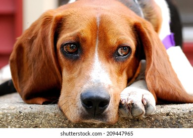 Sad Puppy (Beagle) Enjoys the Warmth of His Front Porch