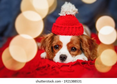 Sad puppy of beautiful brown white Cavalier King Charles Spaniel in a red santa hat on red background and spaniel is framed by beautiful bokeh lights. Christmas is a sad holiday