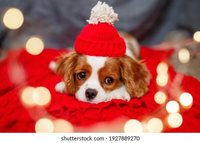 Sad puppy of beautiful brown white Cavalier King Charles Spaniel in a red santa hat on red background. Christmas is a sad holiday