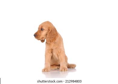 sad puppy dog isolated over white background
