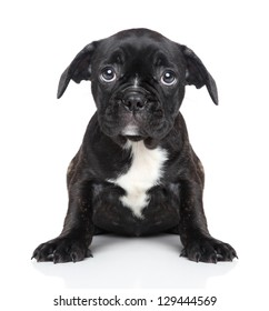 Sad puppy of French bulldog sits on a white background