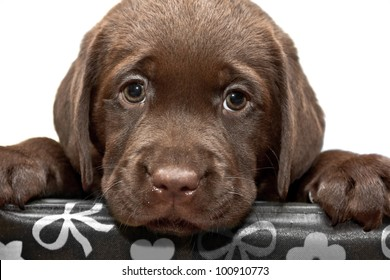 Sad puppy looks out of the box. Brown labored's puppy with sad eyes looks out of the box