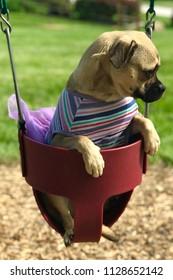 Sad puppy (pug) in baby swing, wearing a tutu