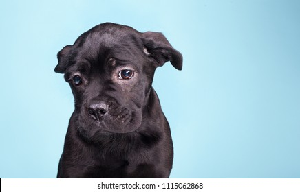 sad puppy, sorry black dog, black Cane Corso on a light blue background, purebred puppy in the studio isolated on a light blue background, very unhappy black dog.