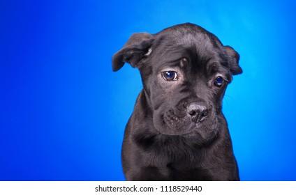 sad puppy, sorry black dog, black Cane Corso on a light blue background, purebred puppy in the studio isolated on a light blue background, very unhappy black dog.