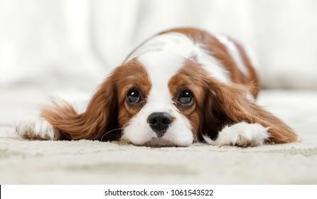 sad pure-bred dog, puppy Cavalier King Charles Spaniel, lie, close up muzzle