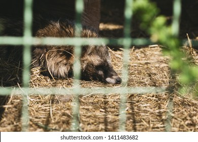 Sad raccoon in a cage at the zoo. Captive animals