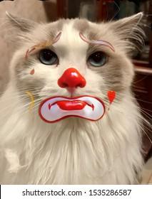 Sad rag doll clown cat