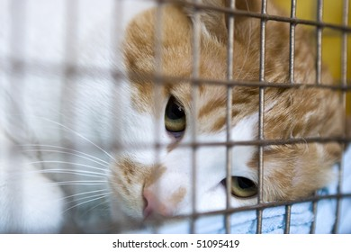 Sad red cat breeds bobtail in a cage at  exhibition