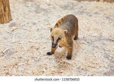 Sad red coati petting zoo