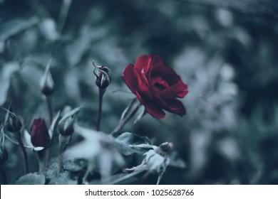 Sad red rose dark