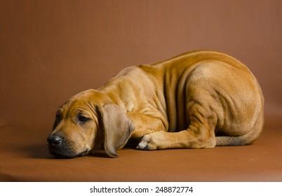 Sad Rhodesian Ridgeback puppy