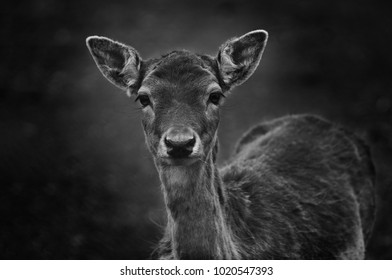 Sad roe deer in autumn black and white portrait close up.