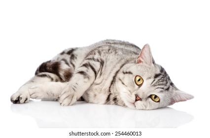 Sad scottish cat looking at camera. isolated on white background