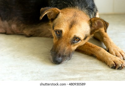 Sad shelter dog is a very unhappy German Shepherd dog looking like he wants someone to take him home and love him.