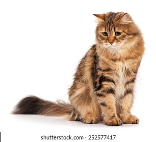 Sad siberian beautiful adult cat over white background