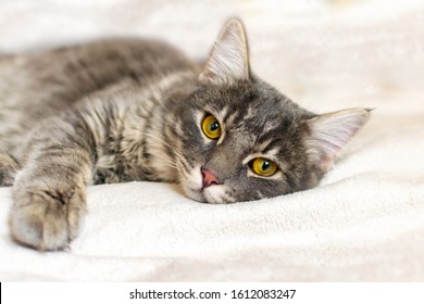 Sad sick young gray cat lies on a white fluffy blanket in a veterinary clinic for pets. Depressed illness and suppressed by the disease animal looks at the camera. Feline health background.