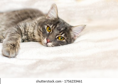 Sad sick young gray cat lies on a white fluffy blanket in a veterinary clinic for pets. Depressed illness, suppressed by the disease animal looks at the camera. Feline health background, copy space.