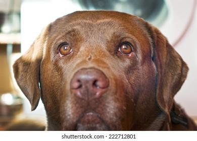 sad sight of brown labrador retriever