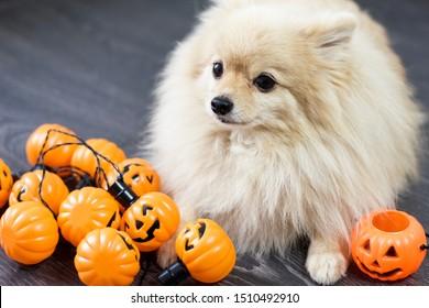 Sad Spitz, Pomeranian dog with pumpkin on a wooden, gray background. Jack O 'Lantern Pumpkin Puppy: Pomeranian dog in orange, Halloween, pumpkin basket. Copy Space.