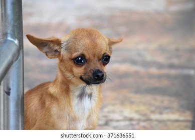 Sad tan colored Chihuahua